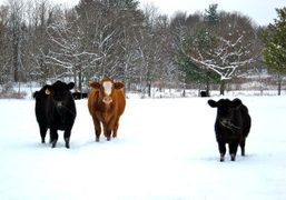 Cows on a snowy day in the Catskills, New York. Photo Sabine…