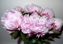 A great picture of peonies, Terry Richardson's favorite flowers, New York. Photo…