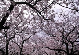 Today was the blooming of the cherry blossoms, Tokyo. Photo Aya Tanizaki