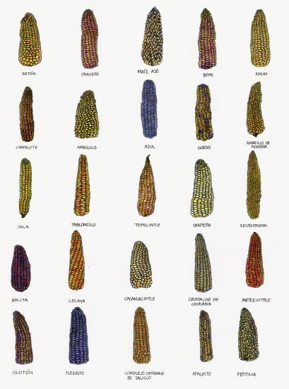 """""""All About Corn,"""" an essay by Elena Reygadas for Purple #36 the Mexico issue"""